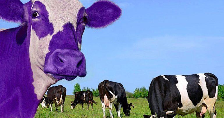 چرا باید گاو بنفش باشید؟